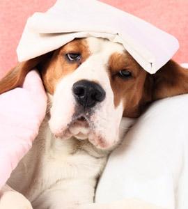 Krankheitssymptome beim Hund