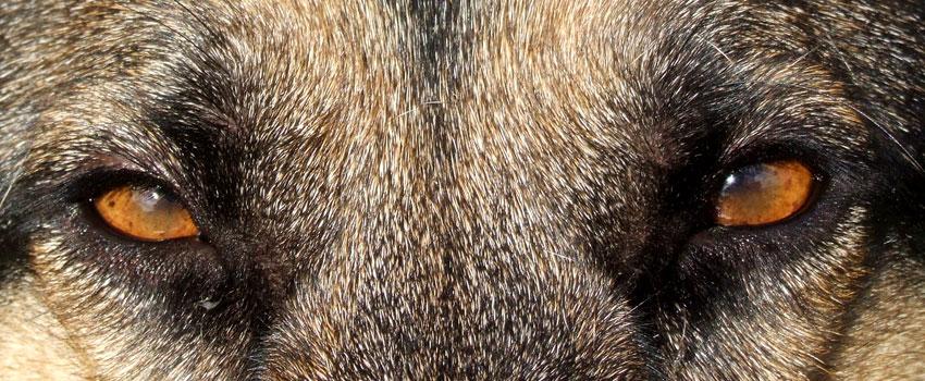 Augen eines Hundes