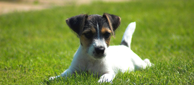 Jack Russell Terrier, Welpe