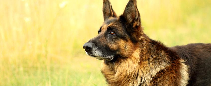 Deutscher Schäferhund beim Mantrailing