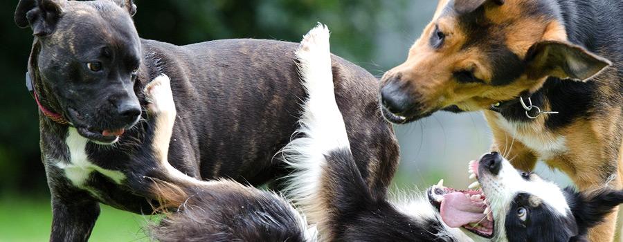 Zehn geeignete Hunderassen für Anfänger