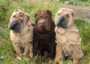 Three young sharpeies