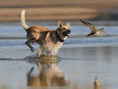 Dog and plover