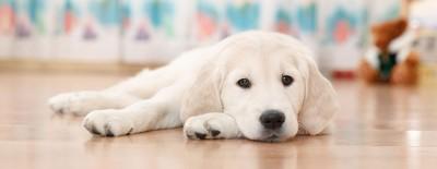 Diese Hunde eignen sich für die Wohnungshaltung