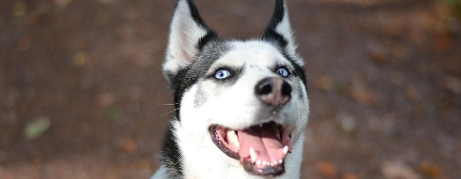 Pfotenstrecke: Die 10 schönsten Huskys