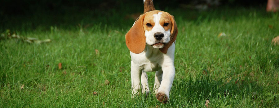 Pfotenstrecke: Die 10 schönsten Beagle