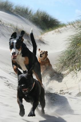 Hunderennen in den Dünen