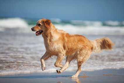 Focused young golden retriever running on the beach