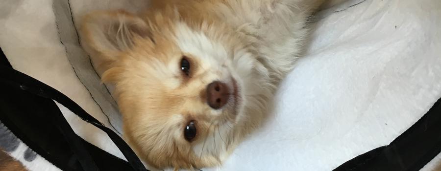 Chihuahua-Rüde Teddy ist ein echter Held