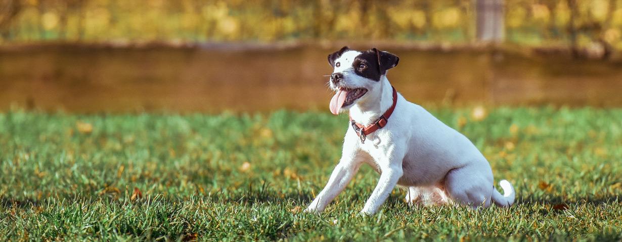 Mikrochip oder GPS-Tracker – Wie finden Sie Ihren entlaufenen Hund wieder?