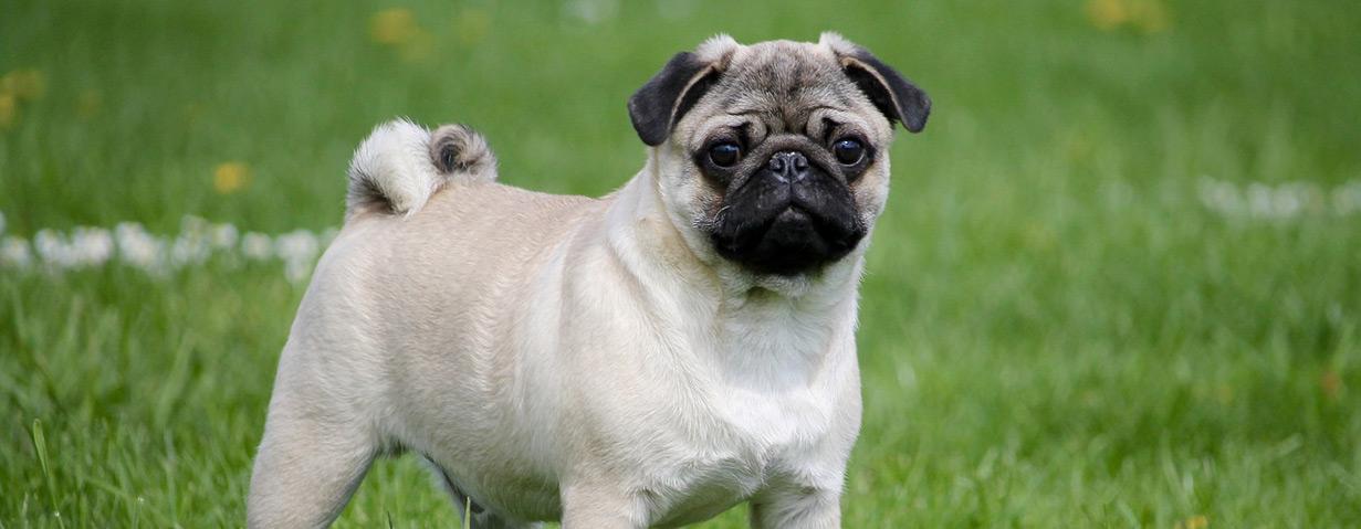 Pfotenstrecke: Die 10 beliebtesten Hunderassen