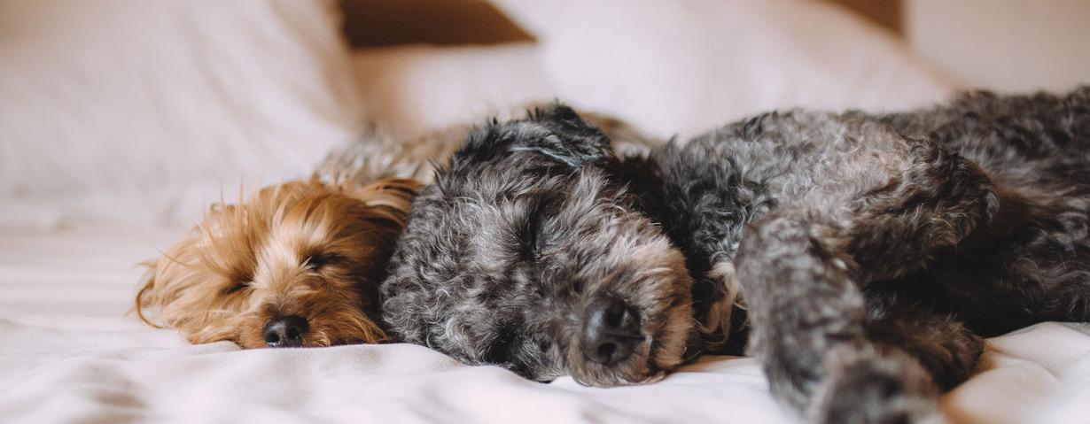 Auch Hunde brauchen ihren Schönheitsschlaf - mit diesen Tipps schläft der Hund gesund
