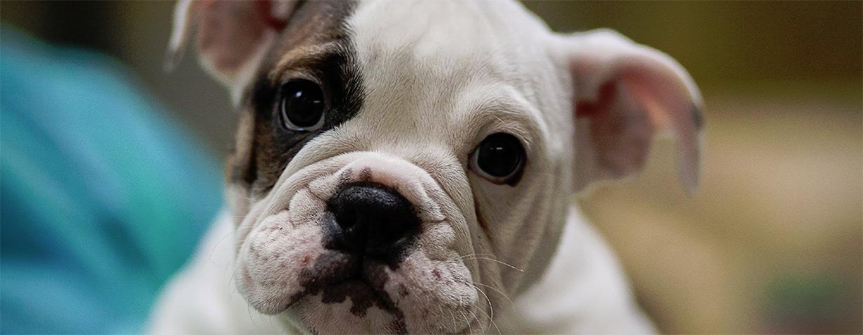 VIER PFOTEN warnt vor Qualzucht bei Hunden