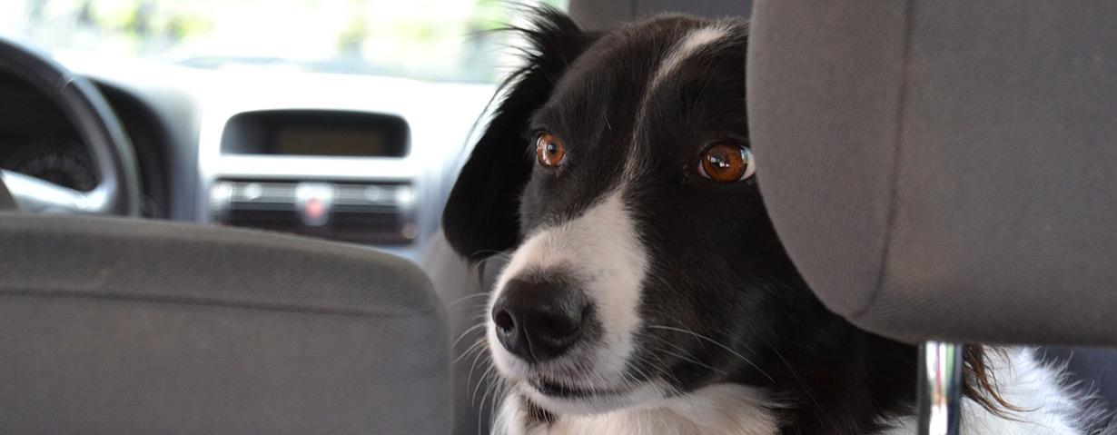 Wenn der Hund reisekrank wird