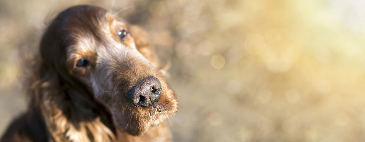 Auch im Alter gesund und zufrieden: Was alte Hunde brauchen