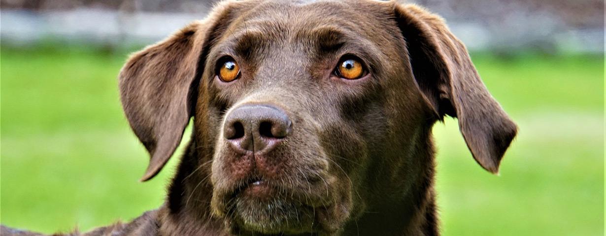 Beliebteste Hunderassen: Labrador führt das Rudel erneut an