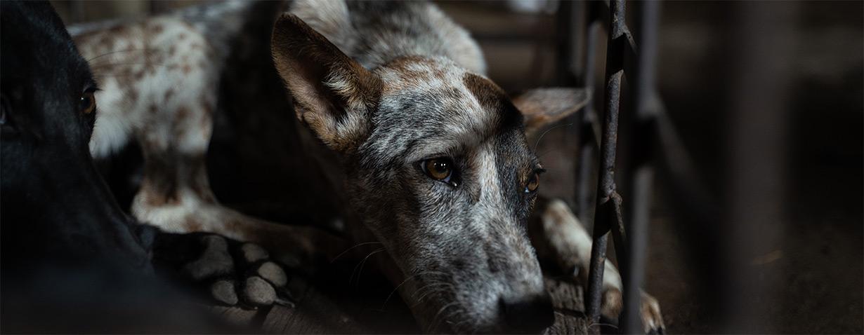 Mehr als eine Million ertränkte Hunde in 25 Jahren: VIER PFOTEN schließt das grausamste Schlachthaus in Kambodscha