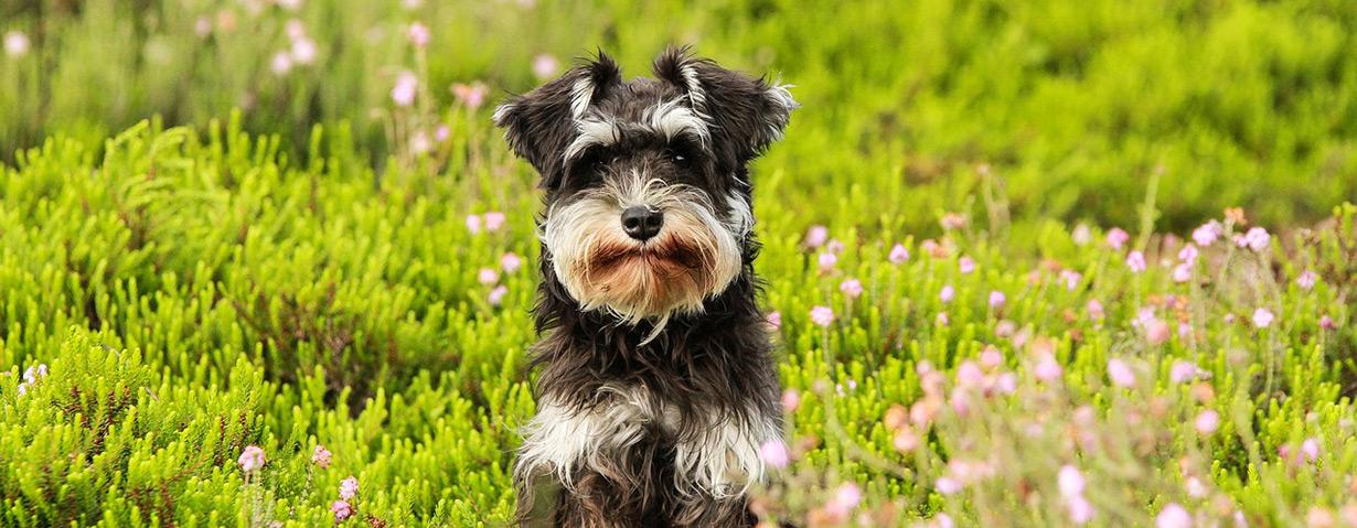 Pollenflug macht vielen Hunden schwer zu schaffen