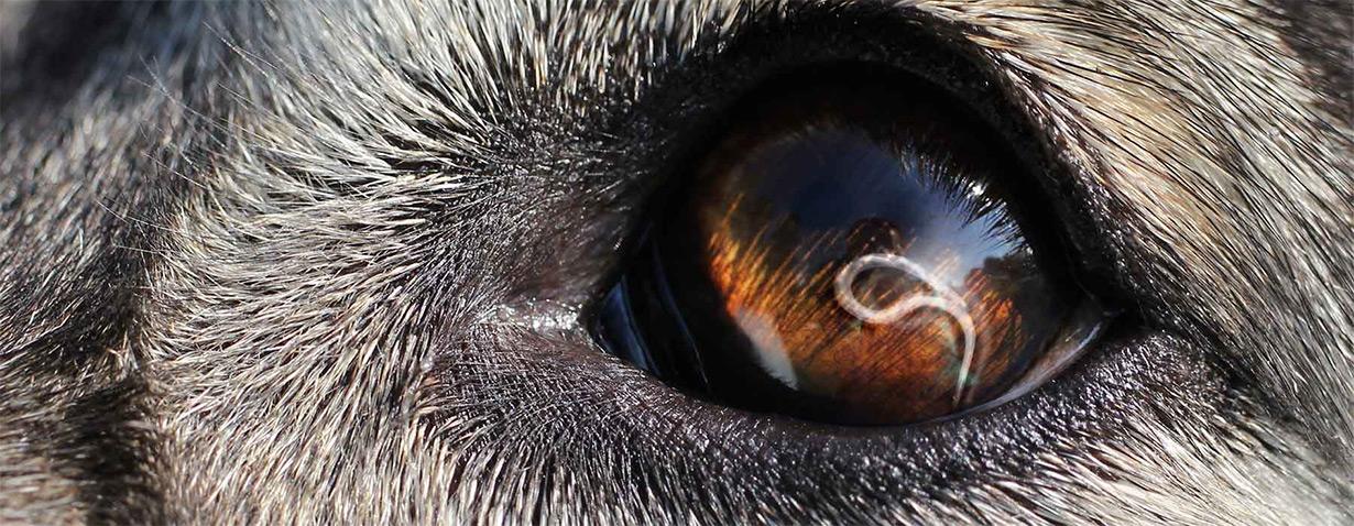 Der Augenwurm beim Hund: ein neuer Parasit?