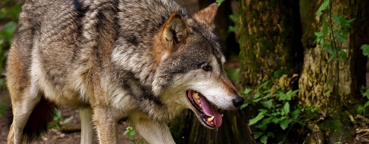 Keine Angst vor Wolfsbegegnungen: PETA-Expertin klärt über Risiken auf und gibt Verhaltenstipps
