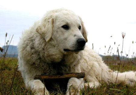 Dog Breeds In Homeward Bound