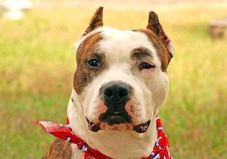 Hunderassen American Staffordshire Terrier Amstaff