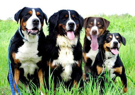 Hunderassen Appenzeller Sennenhund Appenzellerhund