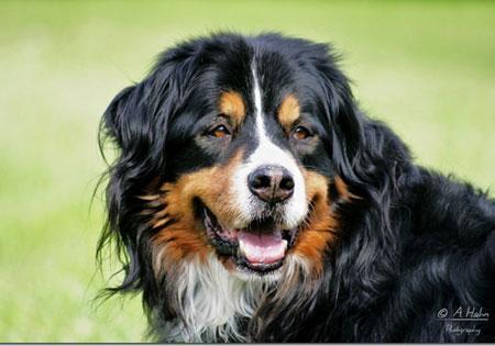 hunderassen berner sennenhund d rrb chler bouvier bernois bernese mountain dog perro. Black Bedroom Furniture Sets. Home Design Ideas
