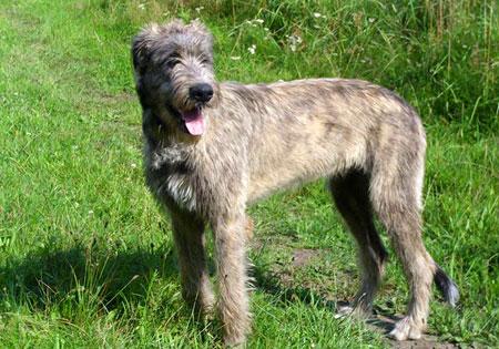 hunderassen irischer wolfshund irish wolfhound. Black Bedroom Furniture Sets. Home Design Ideas